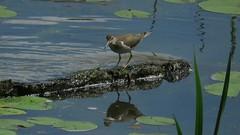 Vidéo: Les chevaliers grivelés: _______________  le jeu de la séduction (lacostejm) Tags: zoneimportantespourlaconservationdesoiseaux refugedoiseauxmigrateurs rom zicoqc128 zico zicoquébec refugedoiseauxmigrateursdelîleauxhérons secteurdesrapideslasalleverdunparcangrignonfleuvestlaurent rapidesdelachine lasalle verdunmigrationbirdsanctury naturequébec migratorybirdsconventionact loide1994surlaconventionconcernantlesoiseauxmigrateurs lanatureenville héritagelaurentien verdun bergesdustlaurent lefleuvesaintlaurentungéantfragile magixvidéodeluxepremium canonpowershotsx60 chevaliergrivelé spottedsandpiper actitismacularia the game seduction birds video