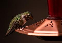 backyard delight... (Alvin Harp) Tags: hummingbird broadtailedhummingbird malehummingbird hummingbirdfeeder bird utah august 2018 sonyilce9 fe70200mmf28 gmoss2x naturesbeauty alvinharp