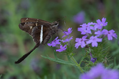 White-striped longtail skipper (jim_mcculloch) Tags: butterflies lepidoptera