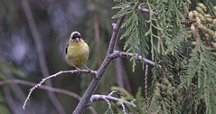 Lean Right (robinlamb1) Tags: nature outdoor animal bird finch americangoldfinch spinustristis tree branch cedar