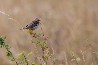 Meadow pipit with a moth
