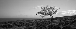 Tree, Easter Island