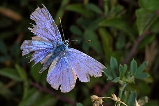 Rolf_Nagel-Fl-2759-Lycaenidae