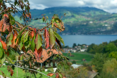Autumnal Leaves (Bephep2010) Tags: 2017 77 alpha bern blätter herbst lakethun landschaft sal1650f28 slta77v schweiz see sony spiez switzerland thunersee wald wasser wolken autumn autumnal clouds forest green grün herbstlich lake landmine leaves red rot water hondrich ch