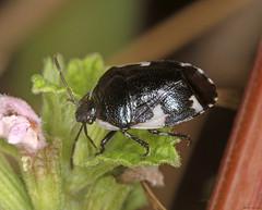 Rambur's Pied Shieldbug (timz501) Tags: ramburspiedshieldbug tritomegassexmaculatus jersey cydnidae
