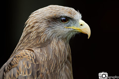 Yellow-Billed Kite (Mike House Photography) Tags: bird prey falcon eagle hawk talons beak wings flying flight fly yellow green brown white eyes sharp meat eater tail tips conservation wildlife animal photography