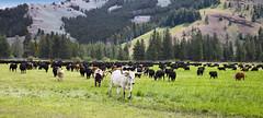 Leading The Herd (wyojones) Tags: wyoming absarokamountains cody sunlightbasin cattle longhorn bovine herd pasture mountain valley wyojones np