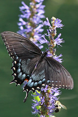 black swallowtail (sherri_lynn) Tags: butterflies flowers plants insects nature gibbsgardens bees blackswallowtail
