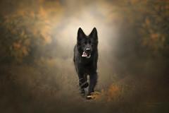 idyllic, fairy-tale (kahora777) Tags: dog animal dogsphotography pet blackdog germanshepherds