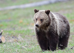 Grizzly Cub - 8195b+ (teagden) Tags: grizzly bear cub grizz grizzlybear grizzlycub grizzlybearcub jenniferhall jenhall jenhallphotography jenhallwildlifephotography wildlifephotography wildlife photography wild nikon nature naturephotography