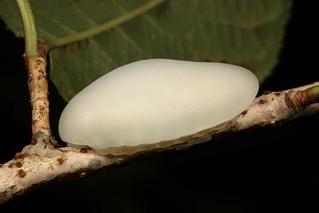 Limacodid Slug Caterpillar (Cup Moth, Limacodidae)