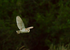 Barn Owl (Snapper.uk) Tags: elements