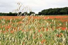 Through the crops. (pstone646) Tags: field landscape nature plants poppies bokeh grasses flora kent trees sky meadow