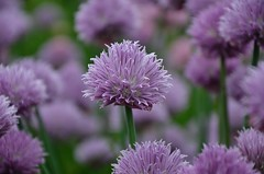 LILAC POM-POM (Duncan Disorderly2011) Tags: lilac flower head close up nikon d7000