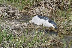 2017 Black-crowned Night Heron 16 (DrLensCap) Tags: blackcrowned night heron ledge road horicon marsh national wildlife refuge waupun wisconsin wi bird robert kramer