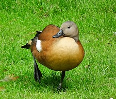 South African Shelduck on holiday in the UK (Bogger3.) Tags: sashelduck shropshire uk fujihs10 coth5 ngc