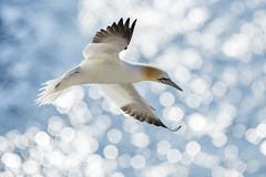 Gannet (Daniel Trim) Tags: northern gannet morus bassanus saltee great island bird nature sea colony photography wildlife back lit twinkling