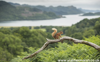 Red Squirrel with a View
