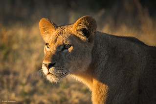 Young lioness in the first sunlight of the day