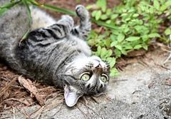 Camille, very glad to have company (rootcrop54) Tags: camille female mackerel tabby bigeyes eyes flirting playing happy neko macska kedi 猫 kočka kissa γάτα köttur kucing gatto 고양이 kaķis katė katt katze katzen kot кошка mačka gatos maček kitteh chat ネコ