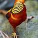 Splendid pheasant II
