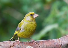 Greenfinch (Chloris chloris) - Taken at Titchmarsh Nature Reserve, Aldwincle, Northants. UK (Ian J Hicks) Tags:
