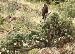 The Golden Eagle (Chamblin1) Tags: eagle goldeneagle colorado summer bird wildlife birdofprey