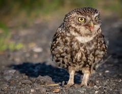 Little Owl (Steve D'Cruze) Tags: owl athene noctua barn little yellow eyes worm uk birds nikon d500 sigma 150600mm