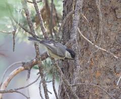 Mountain Chickadee - Poecile gambeli (az3) Tags: paridae