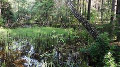 At the Balžis Lake 03 (rimasjank) Tags: lake swamp bog nature summer