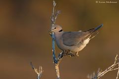 Cape Turtle Dove (leendert3) Tags: leonmolenaar southafrica krugernationalpark wildlife nature birds capeturtledove ngc npc coth5