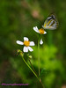 Butterfly & wild daisy (Hương Thảo (ake)) Tags: butterfly xuyếnchi daisy tokina