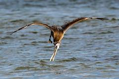 Brown Pelican Diving (dbadair) Tags: outdoor seaside shore sea sky water nature wildlife 7dm2 ocean bird flight bif
