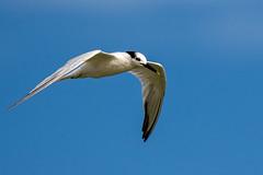 Sandwich Tern Inflight (dbadair) Tags: outdoor seaside shore sea sky water nature wildlife 7dm2 ocean bird flight bif