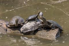 Western Caspian Turtle (Mauremys rivulata) (Ron Winkler nature) Tags: caspian turtle mauremysrivulata mauremys rivulata chelonia reptile reptiles herpetology israel asia canon 100400ii animal wildlife nature 7dii