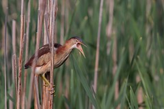 Petit Blongios (boisvertvert1) Tags: petitblongios leastbittern birds michelboisvert 2018 oiseaux marais canada québec canon canon70d ef300mmf4lisusm