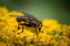 (Jonas Wögerbauer) Tags: insekt blume makro facettenaugen fliege gelb