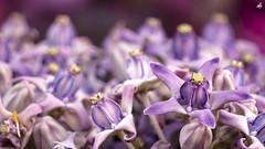 Purple Beauties (Fiqri) Tags: srilanka flowers pedals small closeup water purple tropical macro