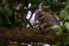 Ghiandaia Assassina (Jay Killer) (Slaki) Tags: ghiandaiaassassina jaykiller jay ghiandaia fauna uccello uccelli