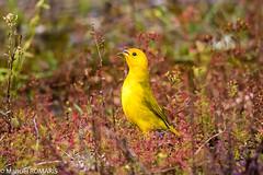 Saffron Finch,  Volcanoes National Park, Hawaii, US (Manuel ROMARIS) Tags: saffronfinch usa hawaii bigisland hawaiivolcanoesnationalpark frankfurtammain hessen germany de