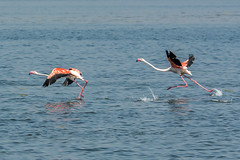 Flamingo lift off (pol.pille) Tags: flamingo camargue lift off steps blue france aiguesmortes water bird