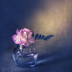 Dianthus (Ro Cafe) Tags: lensbaby stilllife dianthus bottle edge80 textured flower bloom setup closeup nikond600