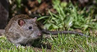 85O_6013 Rat