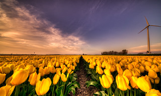 Original Dutch 24-karat gold tulip fields.
