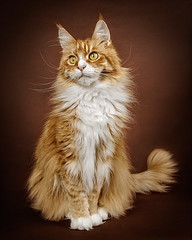 The Pose (cindiefearnall) Tags: mainecoon cat studioportrait studiolighting feline petphotography petportrait petphotographer redtabby companionanimal cindiefearnall flashphotography animal animalphotography furbaby