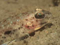 Goby (PacificKlaus) Tags: goby gobiidae perciformes fish macro bolinao pangasinan philippines underwater ocean nature animal universityofthephilippines marinescienceinstitute marinelab underwaterphotography idmissing