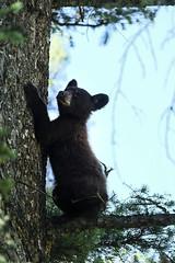 Bear cub climbing a tree (matthiasvanhove) Tags: cub yellowstone usa wyoming wildlife nature natgeo