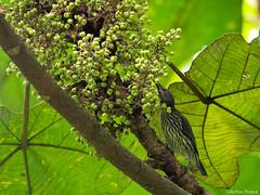 P8050120 (gprana) Tags: aplonispanayensis asianglossystarling bird bukitbrowncemetery district11 em5 micro43 microfourthirds novenaplanningarea olympus olympusmzuikodigitaled75300mmf4867ii olympusomdem5 singapore m43