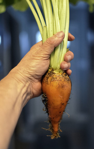 Organic Mangel (Golden) Beet-HSoS!