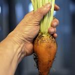 Organic Mangel (Golden) Beet-HSoS! thumbnail
